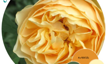 Colour Lover – Yellow Roses